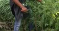 Marijuana tra le piante di mais: arrestato un coltivatore. Sequestrate 38 piante e i manuali delle istruzioni